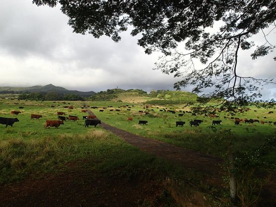 Fagan's Cross: The day the cows arrived