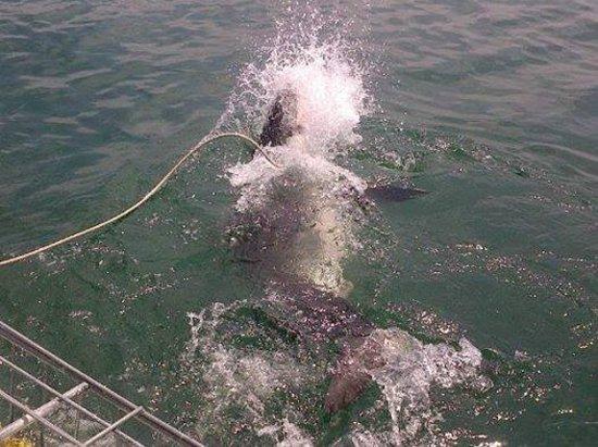 Great White Shark Tours : SHARK!!