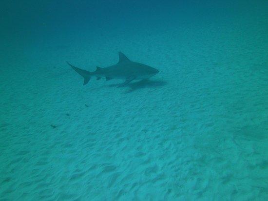 Liquid Blue Divers : Bull shark came into center of camera