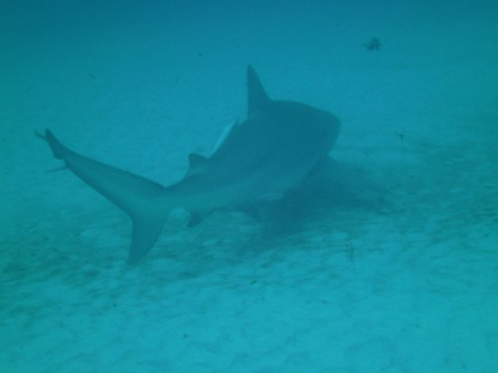 Liquid Blue Divers : Bull shark close up