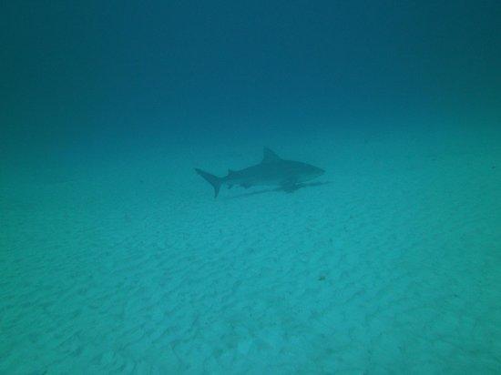 Liquid Blue Divers : First sight of Bull shark after descending