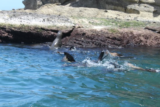Seals by Sea Tours : jumping in to greet us