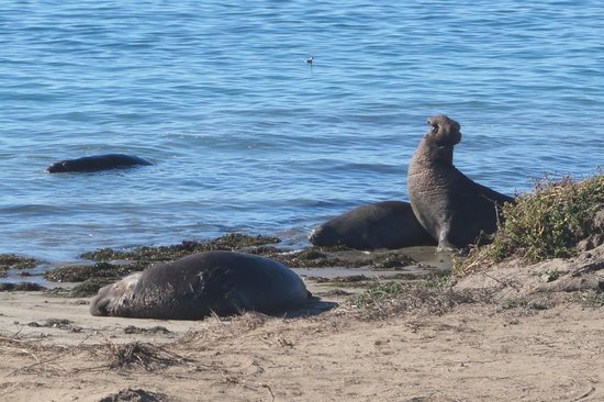 Ano Nuevo Elephant Seal Tours: Bellowing Male