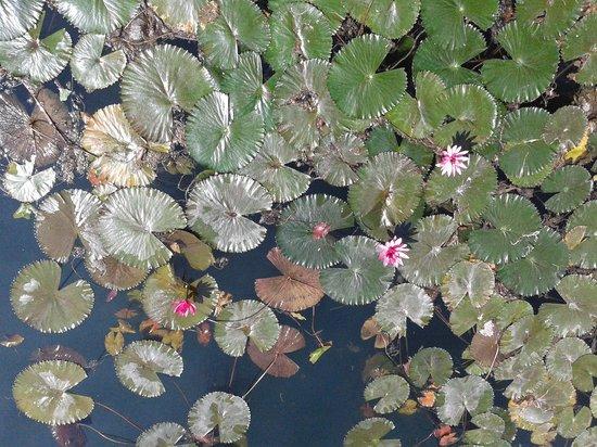 Thermal Lake of Hévíz: Лотосы в начале цветения