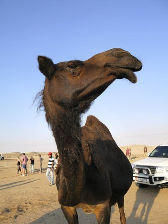 Jumeirah at Etihad Towers: Camel on the desert safari