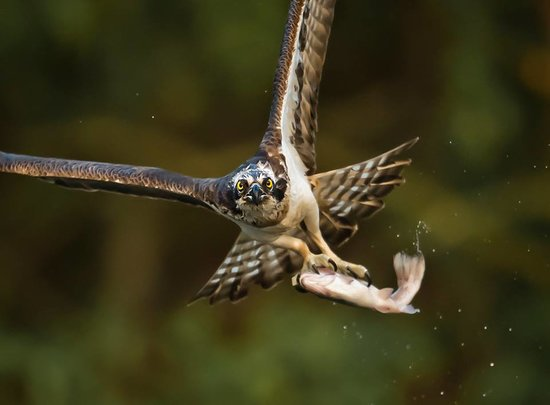 Aviemore Ospreys: Guided Osprey Photography