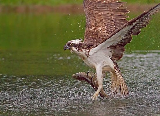 Aviemore Ospreys: Fully guided wildlife Photography