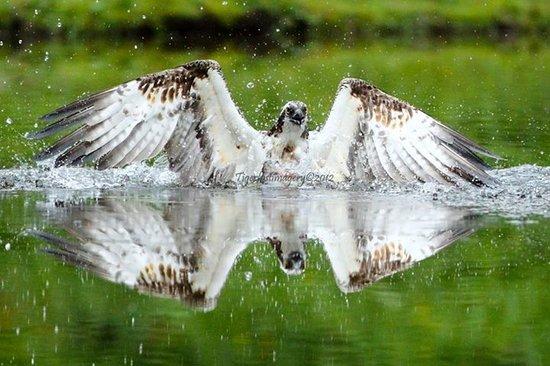 Aviemore Ospreys: Fully guided Osprey Photography