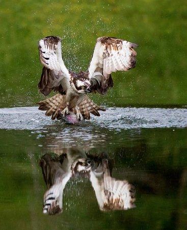 Aviemore Ospreys: Early morning Osprey fishing