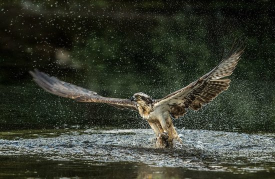 Aviemore Ospreys: Image from our private hide