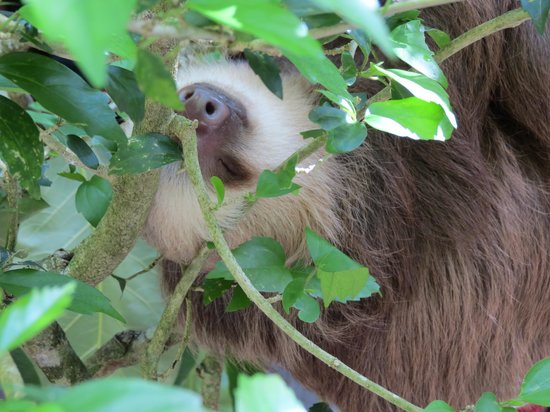 Foundation Jaguar Rescue Center : two -toed sloth