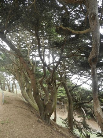 Lands End: Typical windswept trees on trail