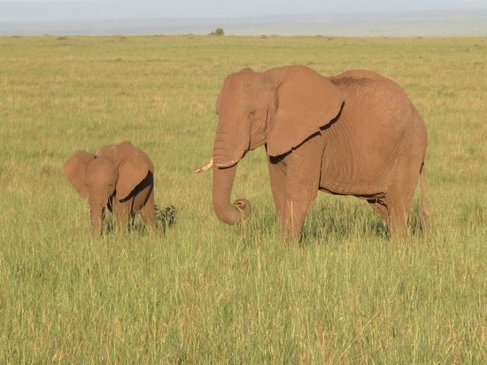 Mara Serena Safari Lodge: Elephants