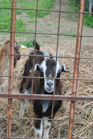 Agriturismo Orsaiola: Happy goat on the property.