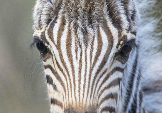 andBeyond Phinda Zuka Lodge: Young Zebra