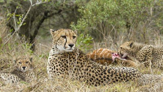 andBeyond Phinda Zuka Lodge: Cheetah with her cubs