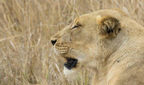 andBeyond Phinda Zuka Lodge: Lioness