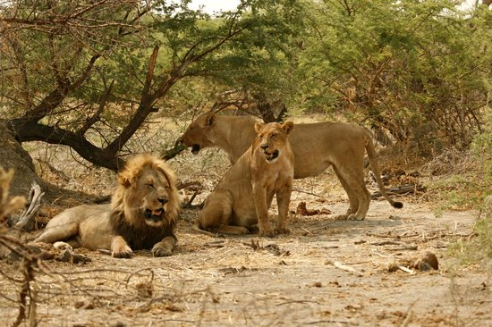 Camp Savuti : Lions