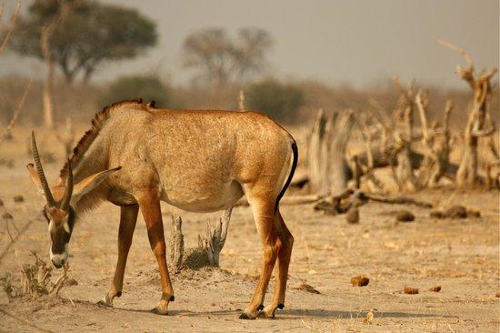 Camp Savuti: Roan Antelope