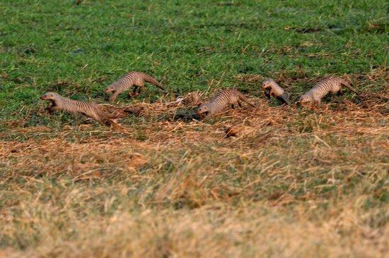 Camp Savuti: Banded mongoos