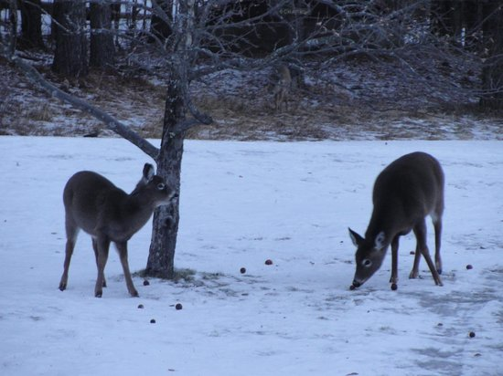 Trapp Family Lodge : Deer feeing outside our room