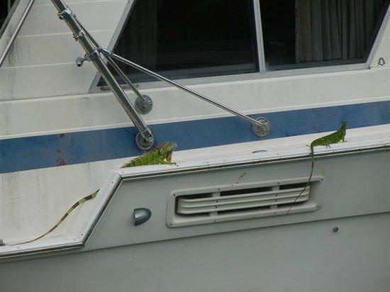 Royal Hawaiian Motel / Botel : 2 Iguanas on the boat across the canal