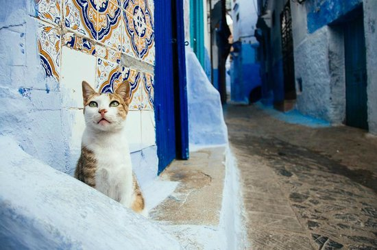 Altstadt von Chefchaouen: one of the many many cats of Chefchaouen