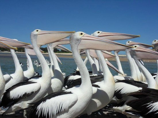 The Entrance, Australien: Pelicans waiting for their fish
