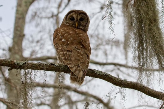Lake Martin : Barre Owl