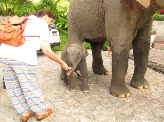 Karma Royal Bella Vista: Feeding baby elephant at the resort