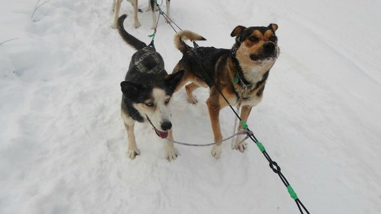Kingmik Dog Sled Tours: Witchie and Bully