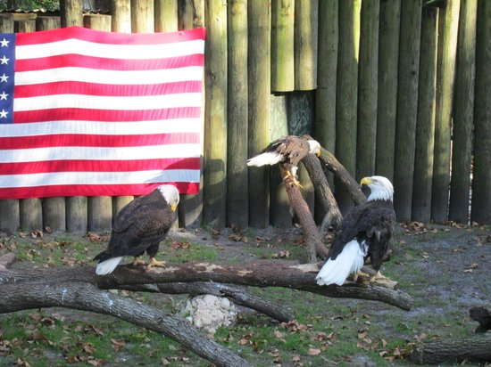 Ellie Schiller Homosassa Springs Wildlife State Park: Bald Eagles