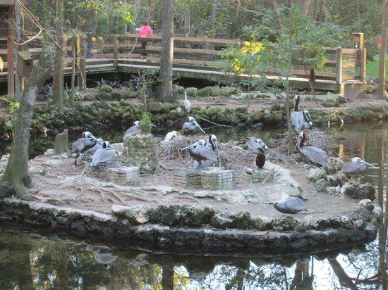 Ellie Schiller Homosassa Springs Wildlife State Park: Pelican
