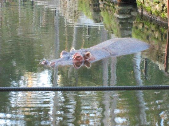 Ellie Schiller Homosassa Springs Wildlife State Park: Hippo
