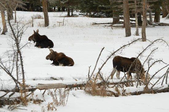 BrushBuck Wildlife Tours - Day Tours : Moose
