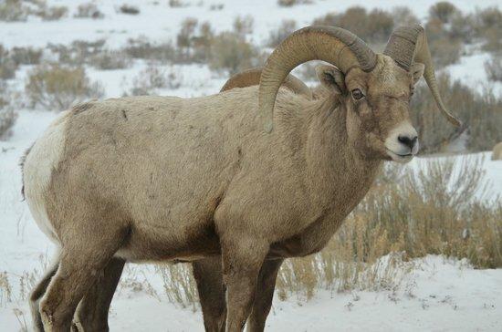 BrushBuck Wildlife Tours - Day Tours : Bighorn Sheep