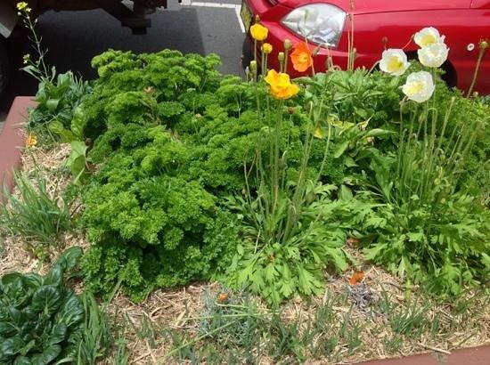 Leuralla: 道路側の花壇にパセリ?
