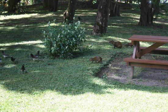 Los Pinos - Cabanas y Jardines: Agouti and birds in front of our cabin