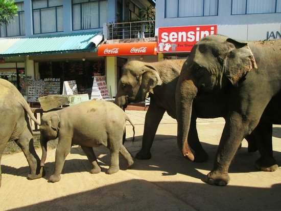 Pinnawala Elephant Orphanage: elefanti al trotto verso il bagno al fiume