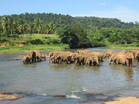 Pinnawala Elephant Orphanage: elefanti al bagno nel fiume