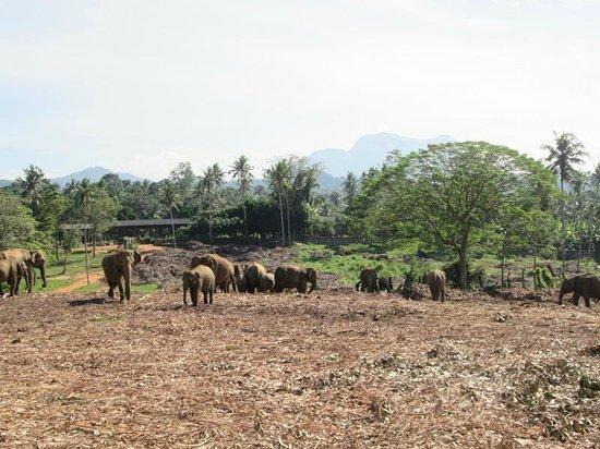 Pinnawala Elephant Orphanage : elefanti al pascolo