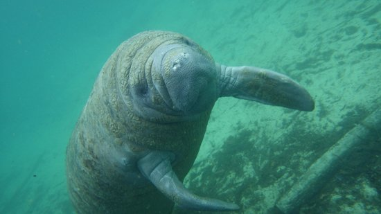 Cute Guy Picture Of Florida Manatee Adventures Crystal