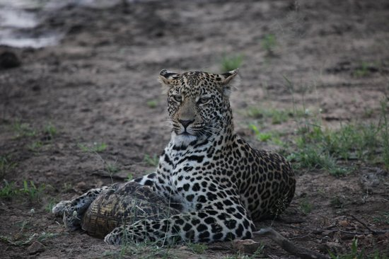 Serondella Game Lodge : Leopard is playing Tortoise