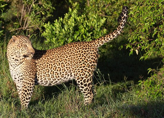 Mara Bush Houses, Asilia Africa: mating leopards