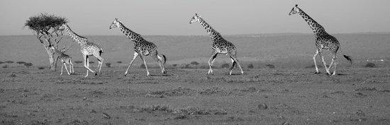 Mara Bush Houses, Asilia Africa: giraffe on the plains