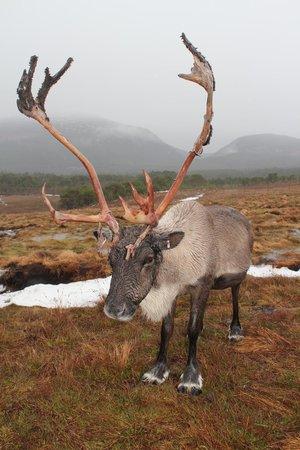 Cairngorm Reindeer Herd : Prachtige dieren