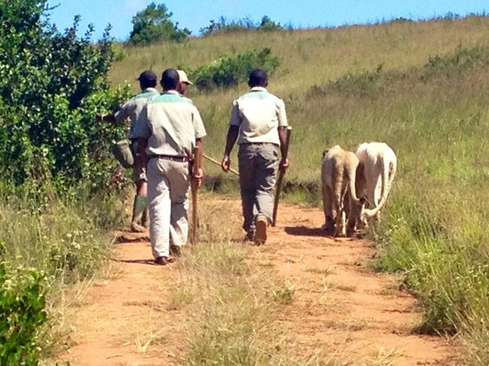 Botlierskop Private Game Reserve: walking with the lions