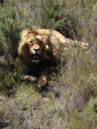 Botlierskop Private Game Reserve: This lion was within arm's reach