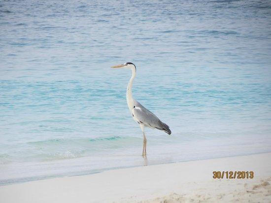 Reethi Beach Resort: Visiting heron ...