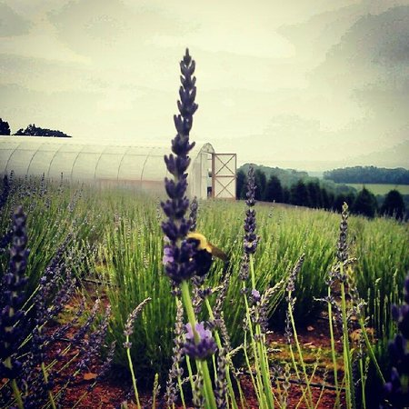 Pottsville, PA: Fields @ Hope Hill Lavender Farm